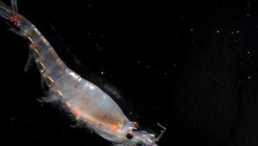 krill_antartico
