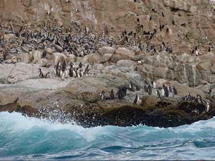 Pingüinos de Humboldt (Spheniscus humboldtii) en Isla Pájaro Niño.
